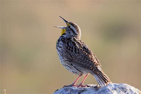 spring birds in alberta archives birds calgary