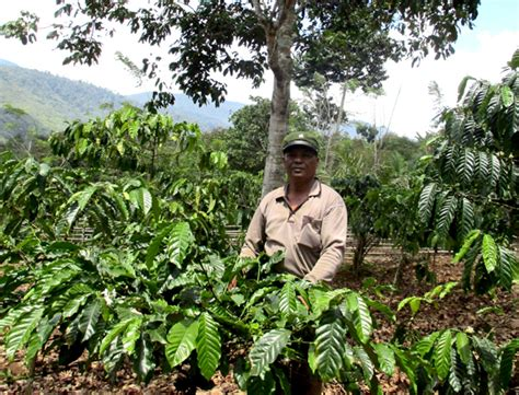 pohon kopi a return to mixed roots in a sumatran forest