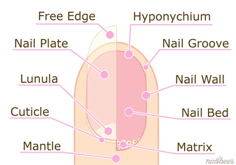 image gallery nail structure