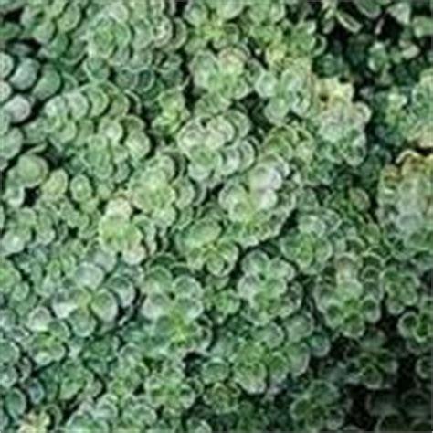 sempreverdi da vaso sempreverdi da terrazzo piante da terrazzo scegliere