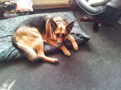 shepherd puppies for rehoming german shepherd for rehoming durham county durham pets4homes