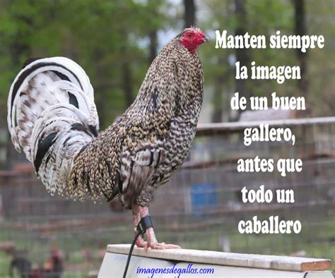 imagenes con frases de galleros imagenes de gallos con frases y dichos de galleros