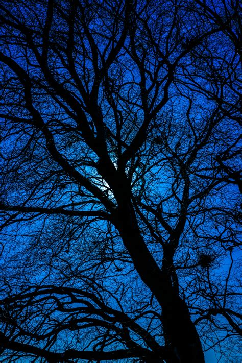 blue tree silhouette free stock photo domain pictures
