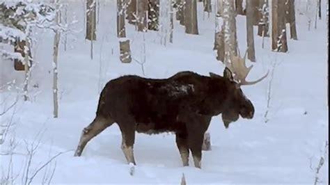 of a moose shedding an antler