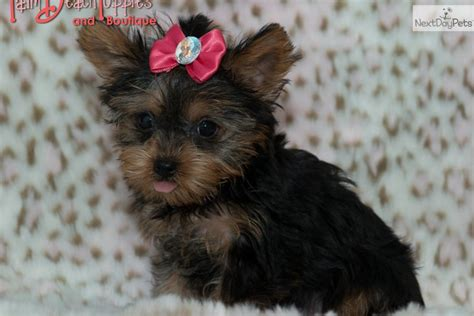 yorkie puppies for sale in west palm yorkie puppies for sale in west palm florida and also stock market loss lawyer