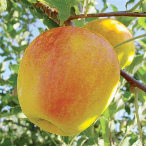 stark nursery fruit trees candycrisp 174 apple apple trees stark bro s
