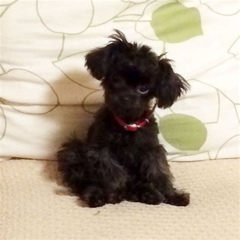 chihuahua yorkie poodle mix 100 best poodle chihuahua images on