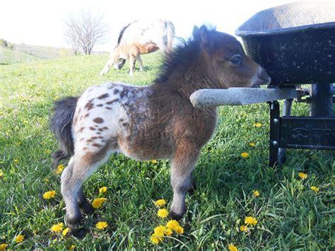 mini pony 15 mini horses you don t want your to see bored panda