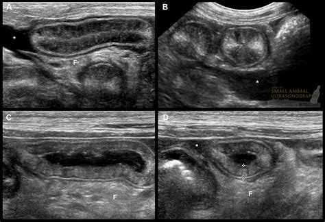 protein losing enteropathy in dogs intestinal mucosal hyperechoic striations small animal ultrasonography