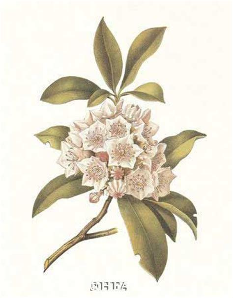 mountain laurel tattoo 1000 images about mountain laurel on