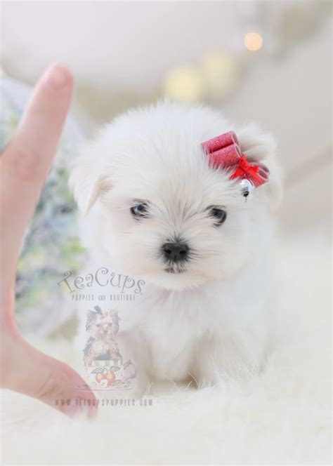 miniature maltese puppies for sale teacup and maltese puppies teacups puppies boutique