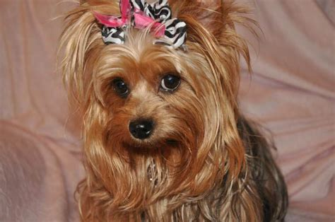 hair yorkie puppies top 105 yorkie haircuts pictures terrier haircuts
