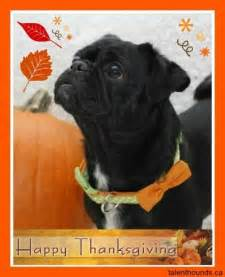 happy thanksgiving pug 31 best kilo the pug images on the pug mondays and pug