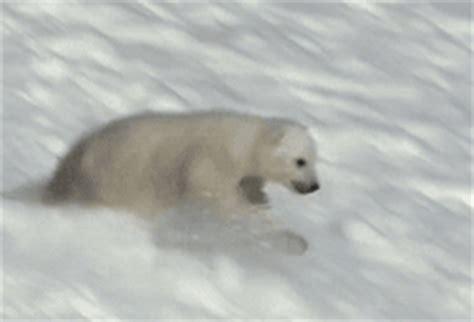 imagenes en movimiento para power point gif gifs animados de osos polares gifmania