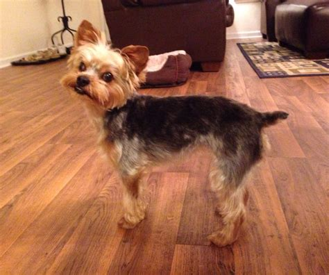 modern yorkie cuts 23 best images about yorkie poodle haircuts on pinterest
