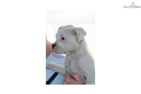 white boxer puppies for adoption boxer puppy for adoption near f1f223f0 8932