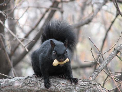 File Eastern Grey Squirrel Black Jpg Wikimedia Commons Black Squirrel