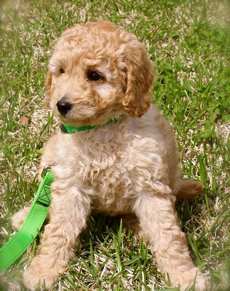 labradoodles puppies for sale sydney australian labradoodle puppy for sale picture photo