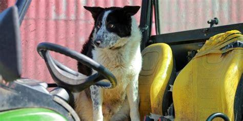 aksi gocekan seekor anjing di tengah laga sepakbola anjing menyetir traktor mini hebohkan pemakai jalan
