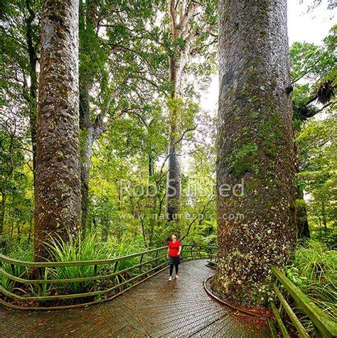 Giant Kauri trees (Agathis australis) with visitor on boardwalk. Manginangina Scenic Reserve