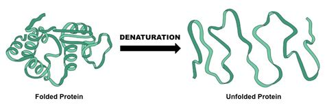 a protein can become denatured when 3 6 enzymes mr neville 180 s math and science website