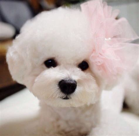 Bichon Frise Also Search For Pink Bichon Frise Bichon Frise