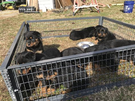 german rottweiler puppies for sale in ny rottweiler puppies for sale new york ny 269689