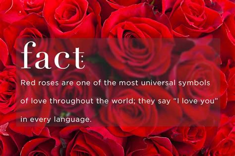 the meaning and symbolism of the word red rose flower red rose flower meaning