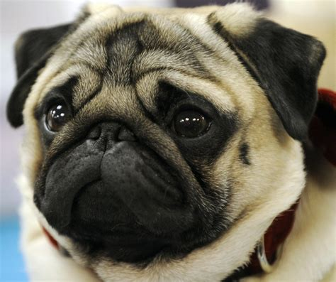 are pugs related to bulldogs pugs bulldogs are most prone to dying while flying