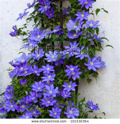 Flowering Vines For Trellis climbing clematis stock photos images pictures