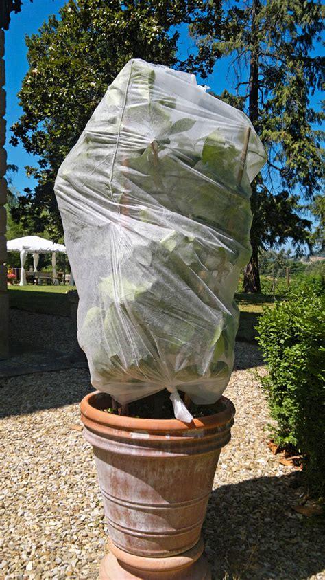 serra per limone in vaso piante di limone in vaso come proteggerle dal freddo