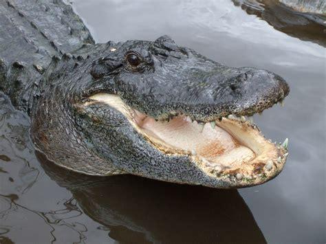 Alligators | Wildernex LLC: Wildlife Control
