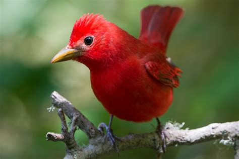 Decorating Ideas For A Small Living Room by Pictures Of Red Birds From Around The Globe