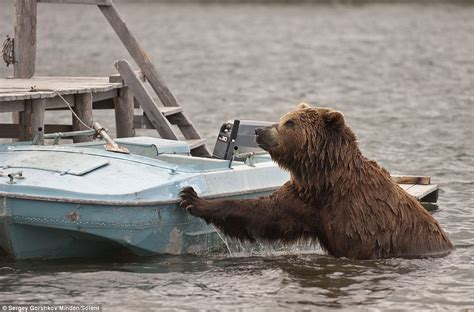 bear boat huge grizzly bear swims across a lake looking for food