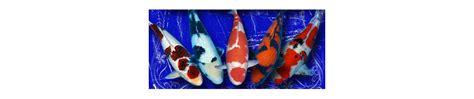 Bibit Ikan Koi Bagus jual ikan koi ikan koi kontes ikan koi murah bibit