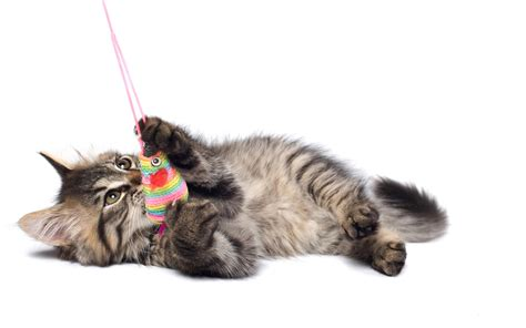 pet cat pets3000 pet supplies cats your pet cat