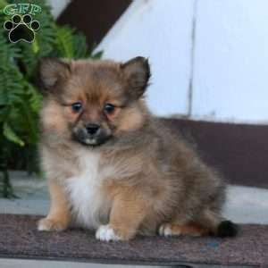 pomeranian chow mix puppies for sale chow chow pomeranian mix puppies www pixshark images galleries with a bite