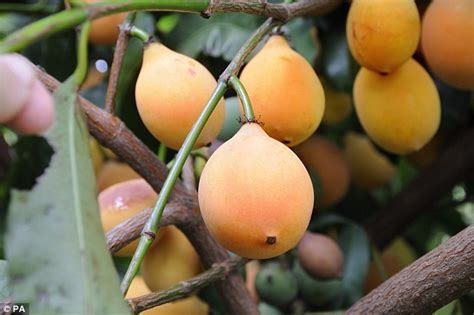 m s fruits achacha fruit goes on sale in britain for