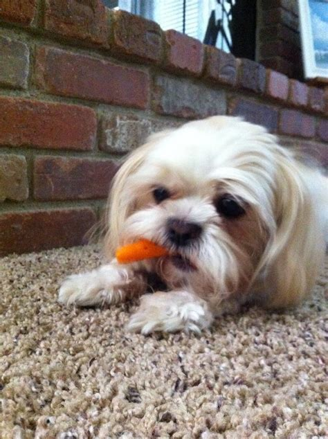 what do shih tzu puppies eat 10 reasons shih tzus are the worst breed