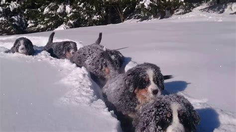 puppies in the snow time for in the snow puppies bernese mountain 12 weeks