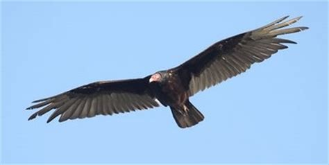 can vultures smell can birds smell wildside