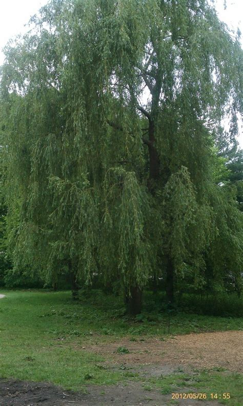 my fave type s tree weeping willow a littler impetuous country with