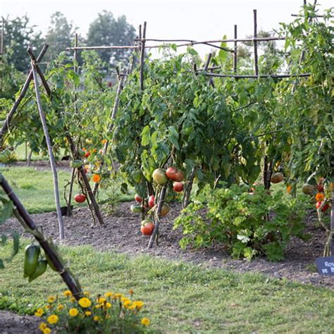backyard tomato garden tomato garden ideas www pixshark com images galleries