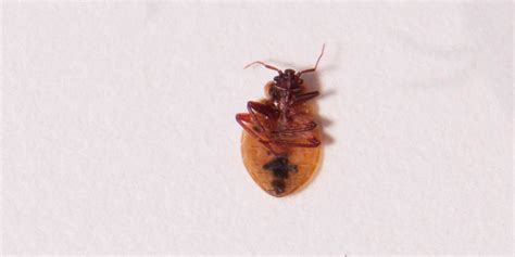 dead bed bug bed bug pictures zappbug