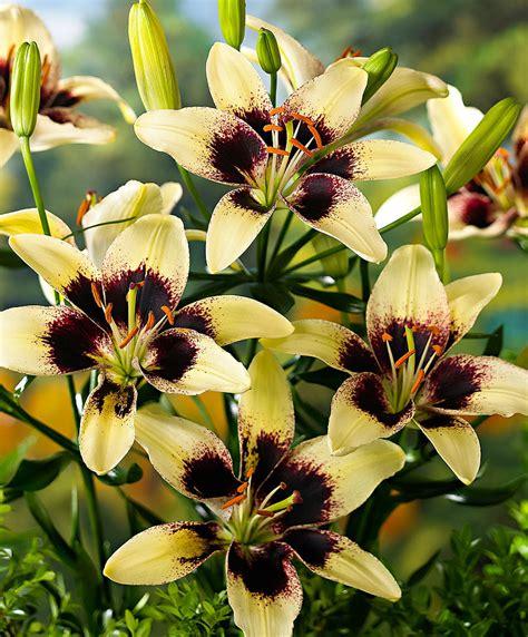 buy lily tango black spider bakkercom