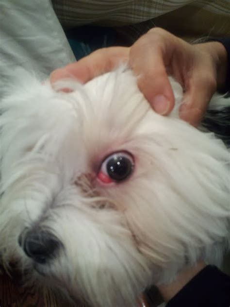 shih tzu eye problem shih tzu traits and characteristics info breeds picture