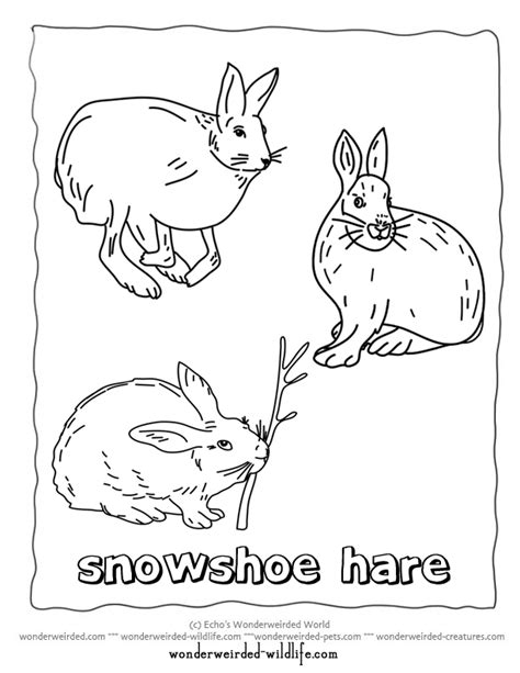 arctic hare coloring pages printable arctic best free
