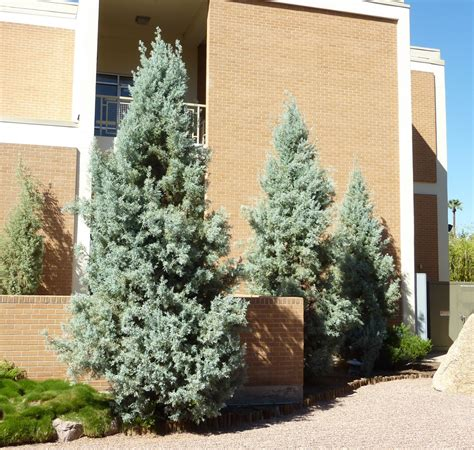 decorated blue arizona cypress disease and pests spider mites and juniper scale are the problems