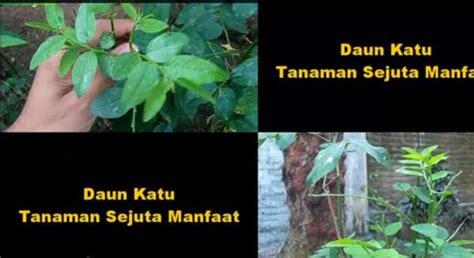 Jual Bibit Daun Katuk Surabaya jual bibit daun katuk jual bibit tanaman dan jasa