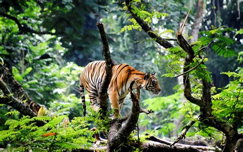 bengal tiger  jungle wallpapers hd wallpapers id